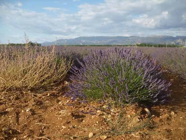 Champ de lavanade près de Moustiers Sainte Marie, Provence